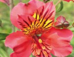 Bodega (Pink)