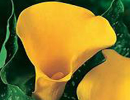 Calla Lily - Yellow
