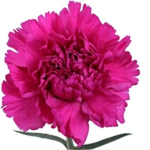 Carn - Tiopolo (Dark Pink)