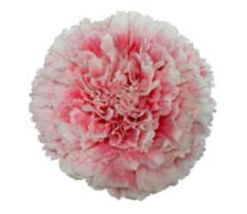 Carnation - Afrodita
