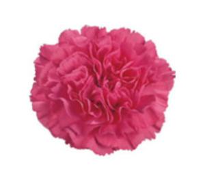 Carnation - Agnese (Dark Pink)