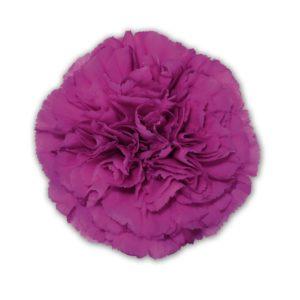 Carnation - Constelation (Dark Pink)