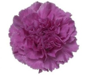 Carnation - Farida
