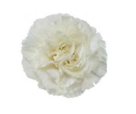 Carnation - Foratini