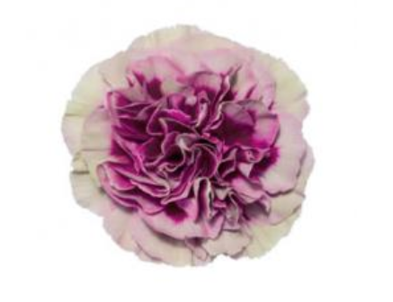 Carnation - Hurricane