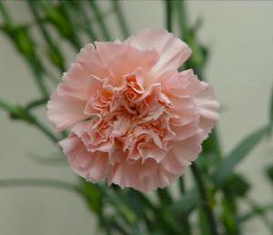 Carnation - Light Pink Candy