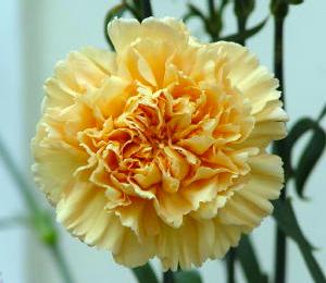 Carnation - Mambo