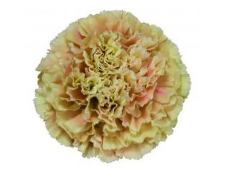 Carnation - Merletto Arancio