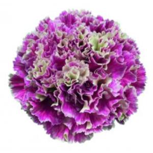 Carnation - Merletto Magenta (Dark Pink)