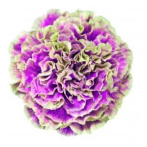 Carnation - Merletto Violeto