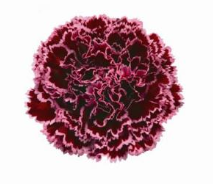 Carnation - Nobbio Burgundy