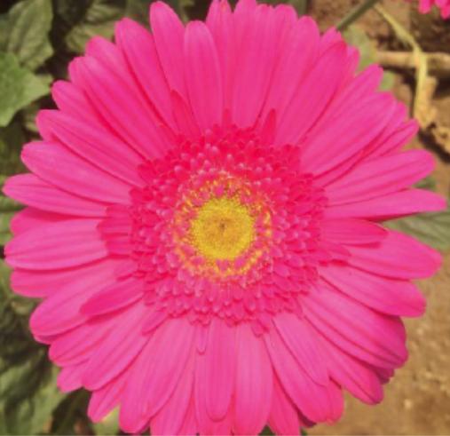 Gerbera - Alban (Dark Pink)
