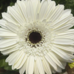 Gerbera - White House