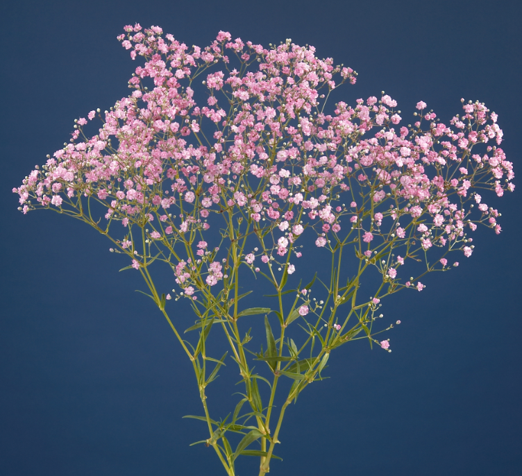 Gypsophila - My Sweet