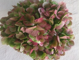 Hydrangea - Red Antique