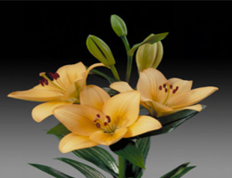 Lily Asiatic - Menorca