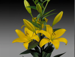Lily Asiatic - Pavia