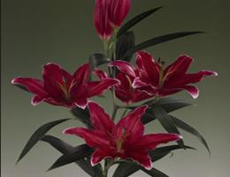 Lily Oriental - Cobra (Dark Pink)