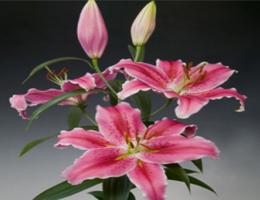 Lily Oriental - Colorado
