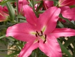 Lily Oriental - Donato (Dark Pink)