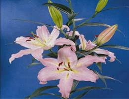 Lily Oriental - Pandora