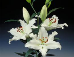 Lily Oriental - Rialto