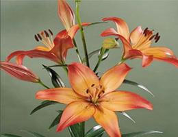 Lily Oriental - Royal Sunset