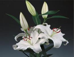 Lily Oriental - Santander