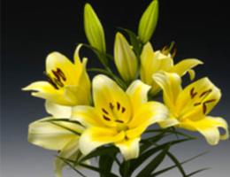 Lily Oriental - Serrano