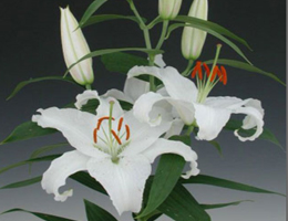 Lily Oriental - Siberia