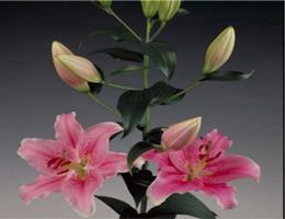 Lily Oriental - Sorbonne