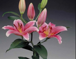 Lily Oriental - Tiber