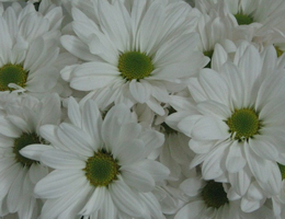 Pompon - Daisy – Atlantis White