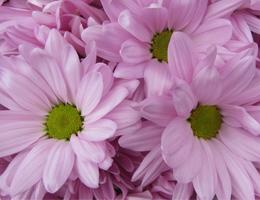 Pompon - Daisy - Atlantis Pink
