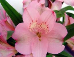 Primadona (Light Pink)