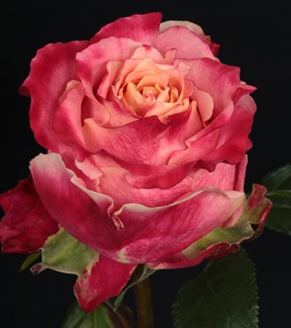 Rose - 3D (Bicolor)