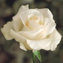 Rose - Amelia