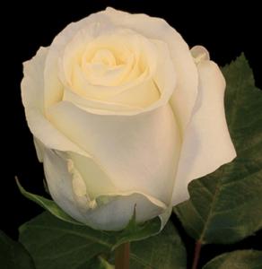 Rose-Anastasia
