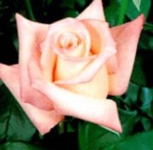 Rose-Anna