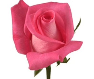 Rose-Attache-Dark-Pink