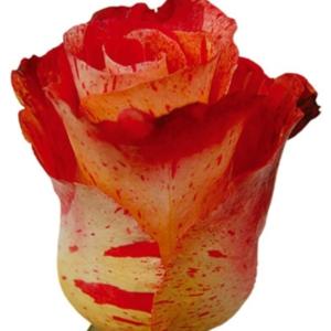 Rose - Bengala