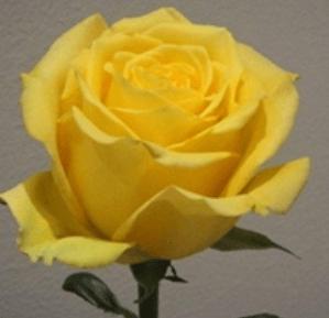 Rose-Bikini