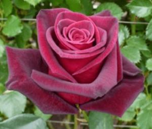 Rose - Black Baccara