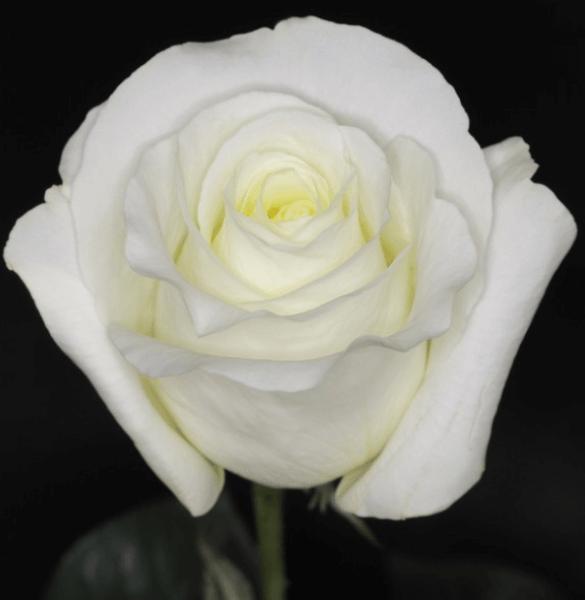 Rose-Blizzard