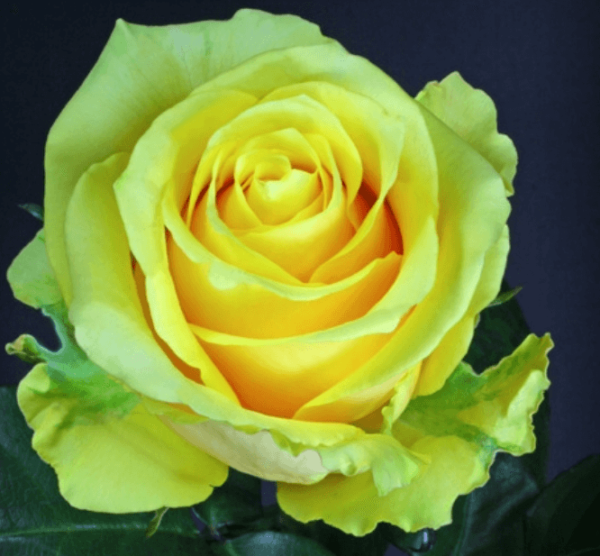 Rose-Butterscotch