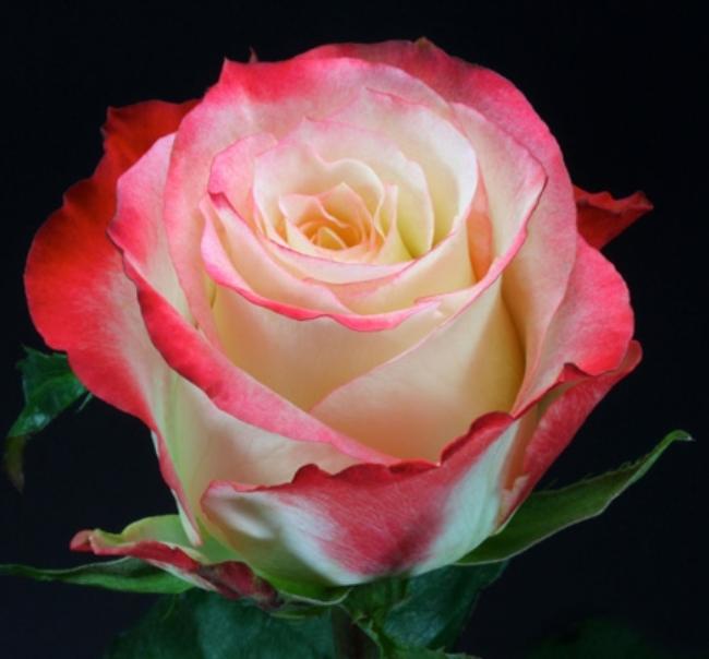 Rose - Cabaret