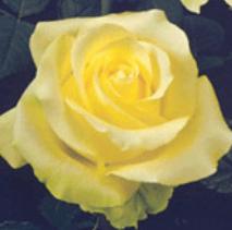 Rose-Caipirinha