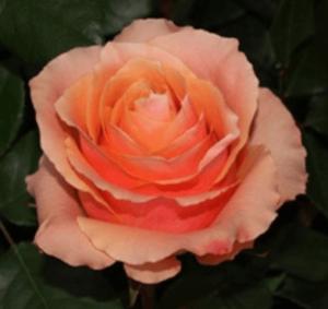 Rose - Carpe Diem