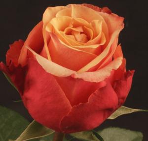 Rose - Cherry Brandy