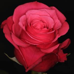 Rose - Cherry O (Dark Pink)
